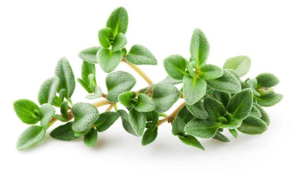 خواص و فواید گیاه آویشن و طرز تهیه دمنوش آویشن